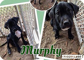 Labrador Retriever Mix Puppy for adoption in Lexington, North Carolina - Murphy