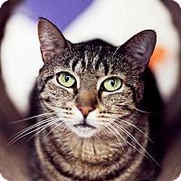 Domestic Shorthair Cat for adoption in Freeport, New York - Anastasia
