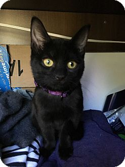 Domestic Shorthair Kitten for adoption in Atlanta, Georgia - Pearlina