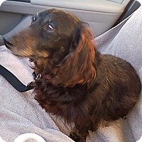 Adopt A Pet :: Sachi - Humble, TX
