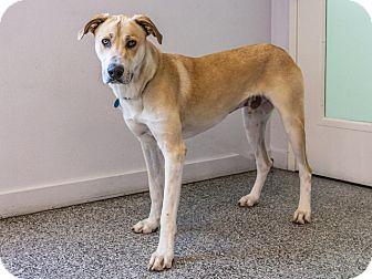 Great Dane Mix Dog for adoption in Long Beach, California - Theodore