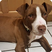 Adopt A Pet :: Brooklyn - Las Cruces, NM