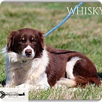 Adopt A Pet :: Whisky - DeForest, WI