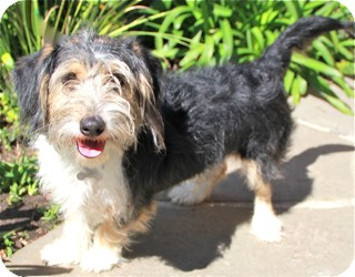 Terrier (Unknown Type, Small) Mix Dog for adoption in Norwalk, Connecticut - Sam - adoption pending