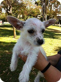 Westie, West Highland White Terrier/Terrier (Unknown Type, Small) Mix Puppy for adoption in Irvine, California - BONNIE