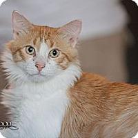 Domestic Shorthair Cat for adoption in St. Louis, Missouri - Jasper