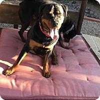 Adopt A Pet :: Hulk - Gilbert, AZ
