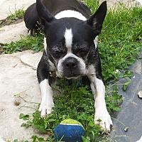Adopt A Pet :: Rocky V - Montreal, QC