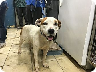 American Pit Bull Terrier Dog for adoption in El Centro, California - Karen