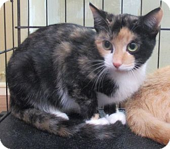 Calico Kitten for adoption in Reeds Spring, Missouri - Ursula