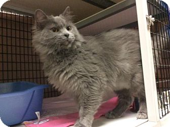 Domestic Mediumhair Cat for adoption in Janesville, Wisconsin - Heavenly