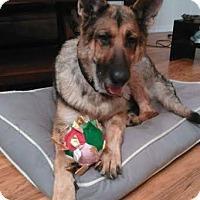 German Shepherd Dog Dog for adoption in Lithia, Florida - Macy-16