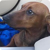Adopt A Pet :: Miles Miso - Houston, TX
