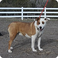 Adopt A Pet :: Ace - Ridgway, CO