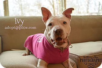 American Staffordshire Terrier Mix Dog for adoption in Cherry Hill, New Jersey - Ivy