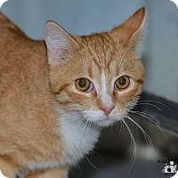 Domestic Shorthair Cat for adoption in Ottumwa, Iowa - Angelo