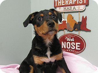 Labrador Retriever/Rottweiler Mix Puppy for adoption in Groton, Massachusetts - Pippa