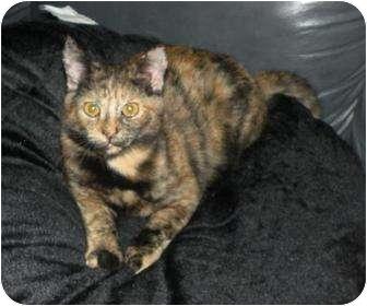Domestic Mediumhair Cat for adoption in Cocoa, Florida - Tiki
