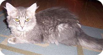 Domestic Mediumhair Cat for adoption in Gray, Tennessee - Claudia