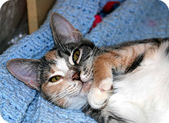 Domestic Shorthair Cat for adoption in New Port Richey, Florida - Maizee
