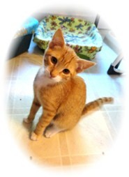 Domestic Shorthair Kitten for adoption in Shelton, Washington - Morrie
