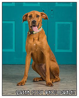 Boxer/Great Dane Mix Dog for adoption in Owensboro, Kentucky - Delilah