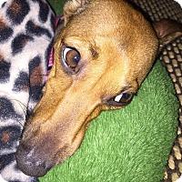 Adopt A Pet :: Monet in DFW area - Argyle, TX