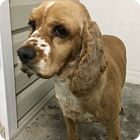 Adopt A Pet :: Sprinkles - St. Petersburg, FL