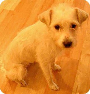 Schnauzer (Miniature)/Cairn Terrier Mix Dog for adoption in Boulder, Colorado - Kelsie-Adoption Pending