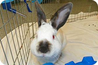 Californian Mix for adoption in Lowell, Massachusetts - Rudolf