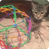 Adopt A Pet :: Snickers - Flower Mound, TX