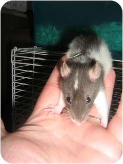 Rat for adoption in Cincinnati, Ohio - Priscilla