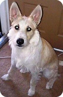 Terrier (Unknown Type, Medium) Mix Dog for adoption in Gilbert, Arizona - Goose