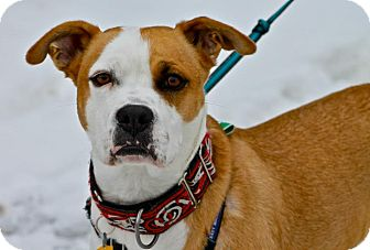 Boxer Mix Dog for adoption in Hastings, New York - Tom-Bo