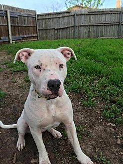 American Pit Bull Terrier Mix Dog for adoption in Clifton, Texas - Sweet Charity