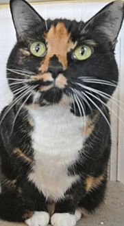 Domestic Shorthair Cat for adoption in Sebastian, Florida - Missy