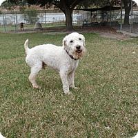 Adopt A Pet :: Sampson - Tavares, FL