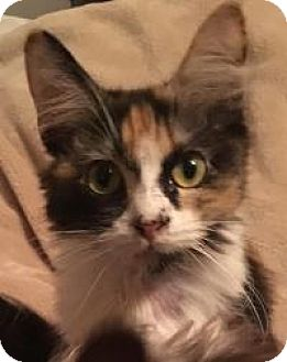 Calico Cat for adoption in Kingwood, Texas - Kiki