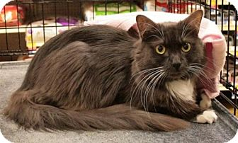 Domestic Longhair Cat for adoption in Sacramento, California - Gertrude