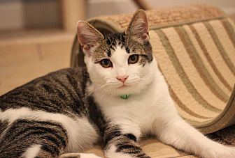 Domestic Shorthair Kitten for adoption in Carlisle, Pennsylvania - Roger