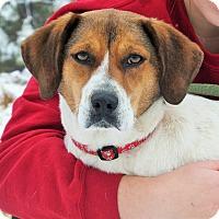 Beagle/Treeing Walker Coonhound Mix Dog for adoption in Lakeville, Minnesota - Ethel