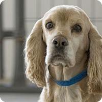 Cocker Spaniel Dog for adoption in Colorado Springs, Colorado - Marley