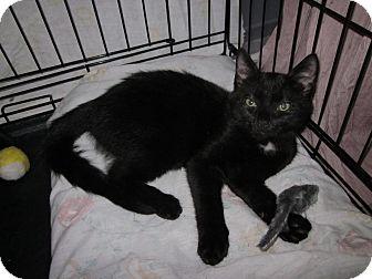 Domestic Shorthair Kitten for adoption in Speonk, New York - Clyde