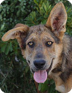 German Shepherd Dog Mix Puppy for adoption in Los Angeles, California - Levi von Leun