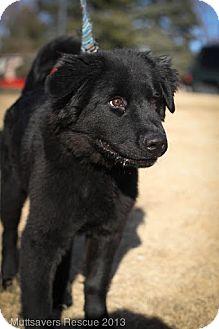 Newfoundland/Retriever (Unknown Type) Mix Puppy for adoption in Broomfield, Colorado - Valentino