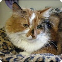 Domestic Longhair Cat for adoption in House Springs, Missouri - Diva
