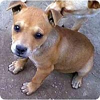 Adopt A Pet :: Jelly  - dewey, AZ
