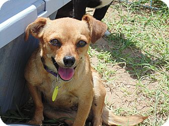 Chihuahua Mix Dog for adoption in Las Cruces, New Mexico - Stryker