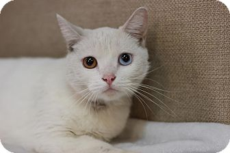 Turkish Van Cat for adoption in Midland, Michigan - Odyssey