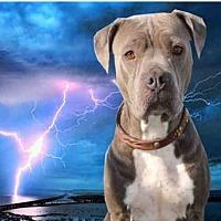Adopt A Pet :: DARLA - Fairfield, CA